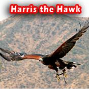 Hawk_copy